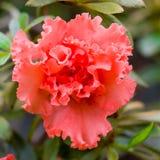 Mooie gevoelige rode bloem Stock Fotografie