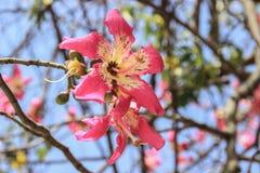 Mooie gevoelige roze grote bloemen Chorisia of Ceiba-speciosa het groeien op een boom waarvan schors stock fotografie
