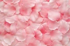 Mooie gevoelige roze nam bloemblaadjes toe Stock Afbeeldingen