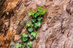 Mooie geweven boomschors met groene verse klimop stock foto's