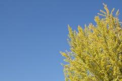 Mooie Gingko drie met zijn gekleurde gele bladeren royalty-vrije stock foto