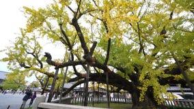 Mooie ginkgoboom die geel worden stock footage