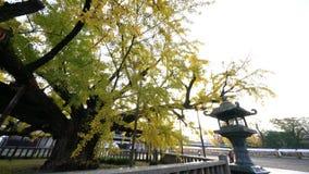 Mooie ginkgoboom die geel worden stock videobeelden