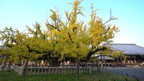 Mooie ginkgoboom die geel worden stock video