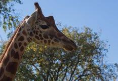 Mooie Giraf bij het dierentuinpark Lignano Sabbiadoro Italië Stock Foto