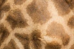 mooie Giraf (Giraffa-camelopardalis) huid voor achtergrondu Royalty-vrije Stock Afbeeldingen