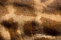 mooie Giraf (Giraffa-camelopardalis) huid voor achtergrondu Stock Afbeeldingen
