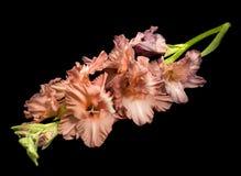 Mooie gladiolen over zwarte stock fotografie