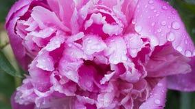 Mooie glanzende waterdruppeltjes op de pioenmacro van het bloembloemblaadje Dalingen van dauw Zacht zacht elegant luchtig artisti stock foto's