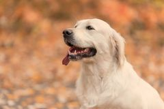 Mooie golden retrieverhond in de aard stock foto's