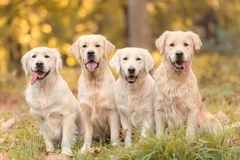 Mooie golden retrieverhond in de aard stock foto