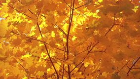 Mooie gouden de herfstbladeren op een wind, esdoorn stock videobeelden