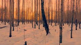 Mooie gouden zonsondergang in berkbosje op de winteravond stock footage