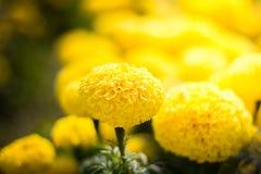 Mooie goudsbloembloemen Stock Afbeeldingen