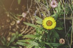 Mooie Goudsbloemen in de tuin royalty-vrije stock afbeeldingen