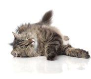 Mooie grappige kat royalty-vrije stock afbeelding