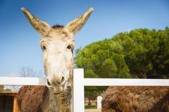 Mooie grijze en witte ezel bij de omheining royalty-vrije stock afbeeldingen