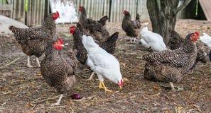 Mooie grijze en witte kippen op boerenerf Industriële productie van eetbaar ei kip stock afbeelding