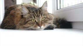 Mooie grijze kat die op een witte vensterbank liggen stock video