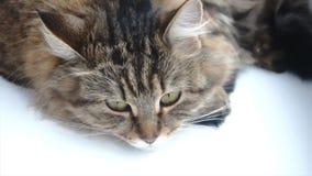 Mooie grijze kat die op een witte vensterbank liggen stock footage
