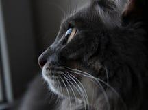 Mooie grijze kat die uit het venster kijken royalty-vrije stock fotografie