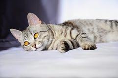 Mooie grijze kat met grote ogen die op de vloer liggen Stock Foto