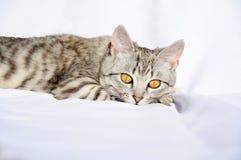 Mooie grijze kat met grote ogen die op de vloer liggen Royalty-vrije Stock Foto's