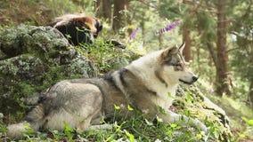 Mooie grijze wolf die op de rotsen leggen, die rust, het wild hebben stock video