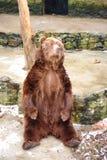Mooie Grizzly Royalty-vrije Stock Afbeeldingen