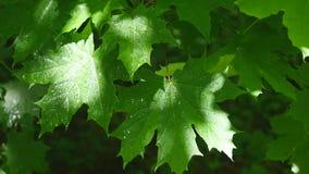 Mooie groen doorbladert van een esdoornboom tijdens een de lentestortbui met regen die op hen vallen stock footage