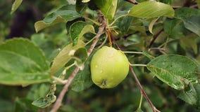 Mooie groene appel op een tak van de appelboom na de regen stock videobeelden