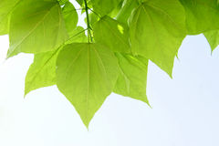 Mooie groene bladeren Stock Foto