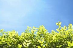 Mooie groene bladeren met blauwe hemel voor achtergrond Stock Foto