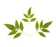 Mooie groene bladeren op witte achtergrond Royalty-vrije Stock Foto