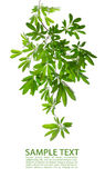 Mooie groene bladeren op witte achtergrond Stock Fotografie