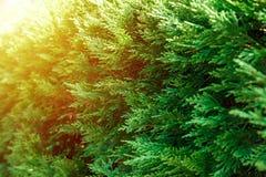 Mooie groene bladeren van Thuja-bomen in zonnig licht royalty-vrije stock foto's