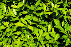 Mooie groene bladerenachtergrond Stock Afbeelding