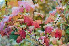 Mooie groene bladerenachtergrond in de herfstbladeren van struiken Donkere Rode gele bladeren op een tak De achtergrond van de aa Stock Afbeeldingen