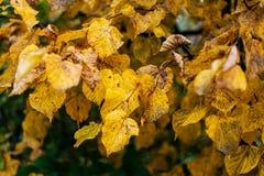 Mooie groene bladerenachtergrond in de herfstbladeren van struiken Donkere Vuile gele bladeren op een tak Achtergrond Stock Afbeeldingen