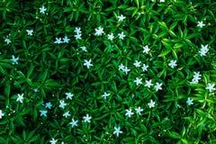 Mooie groene bladerenachtergrond, Witte bloem Royalty-vrije Stock Afbeeldingen
