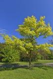 Mooie groene boom in de lente Royalty-vrije Stock Foto's