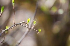Mooie groene de lentebladeren in een bosaardhernieuwde groei in de vroege lente stock fotografie