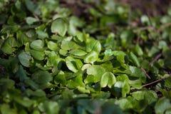 Mooie groene de lentebladeren in een bosaardhernieuwde groei in de vroege lente stock afbeelding