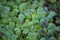Mooie groene de lentebladeren in een bosaardhernieuwde groei in de vroege lente stock afbeeldingen