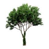 Mooie groene die boom op een witte achtergrond wordt geïsoleerd Stock Afbeelding