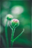 Mooie groene en roze badstof jonge knop van een installatie Stock Foto's