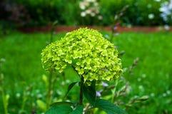 Mooie groene hydrangea hortensia Stock Foto