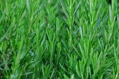 Mooie groene installatie in de lente dichte omhooggaand stock fotografie