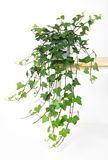 Mooie groene klimop in pot Stock Foto's