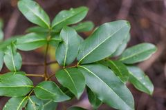 Mooie groene mangrovebladeren Voor de achtergrond stock fotografie